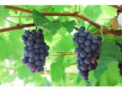 湖南人在崇明的果蔬种植园葡萄老乡们特供开始了